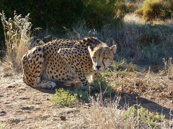 African Game Lodge: Cheetah programme