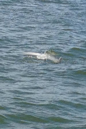 Charleston Water Taxi: Dolphins