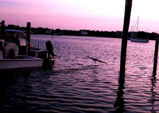Jolly Roger Pub and Marina: Pelican landing at sunset