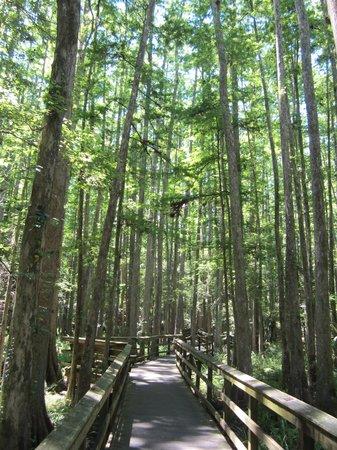 Highlands Hammock State Park: Cypress Swamp Trail