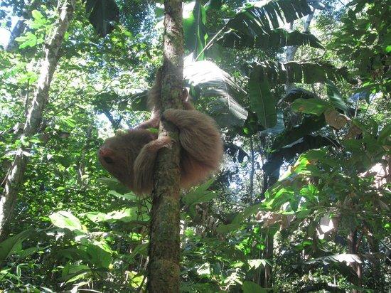 Refugio Amazonas: Sloth!