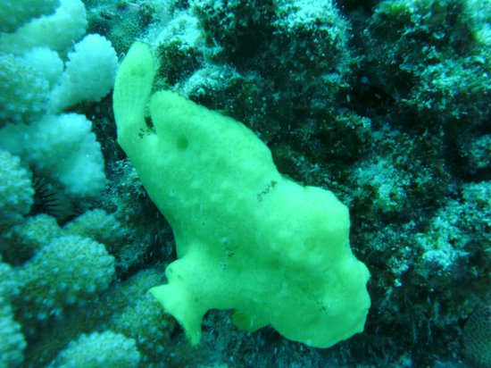 Torpedo Tours: Frog Fish first day of diving