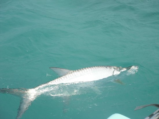 Joyce & Frank's Bed & Breakfast: Tarpon!