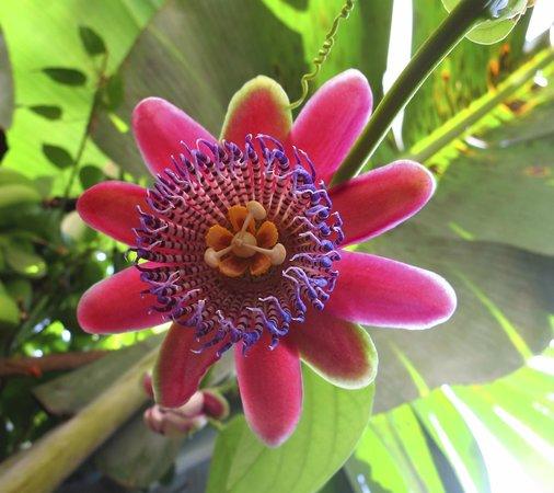 Pura Vida Hotel: Passion fruit flower near bananas.  Both may be for breakfast.
