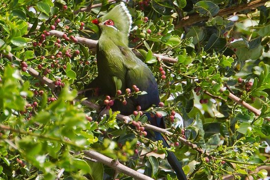 Forest Edge Nature-lovers' Retreat: Knysna Lourie / Touraco - Birdwatch from your cottage, veranda or on a walk-about