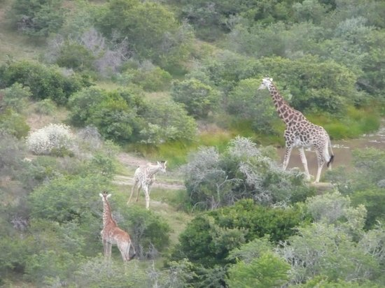 Nyaru Private Game Lodge: Giraffe