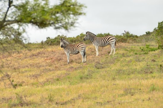 Nyaru Private Game Lodge: Zebra
