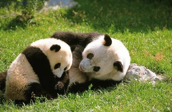 Chengdu Bamboo International Tours: Panda Tour from Chongqing