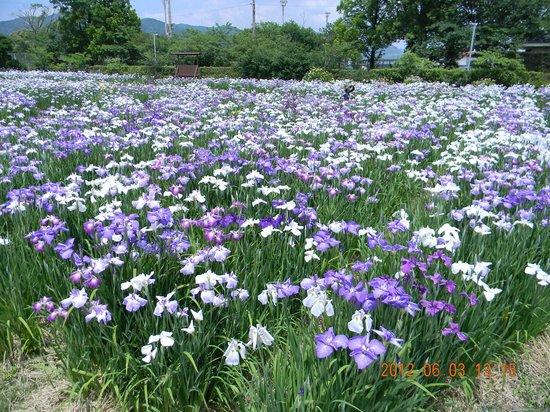 Saga, Japan: 大和中央公園花しょうぶ園