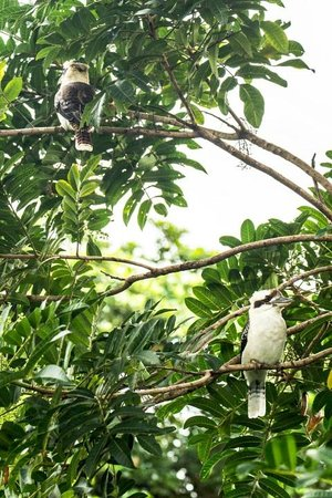 Mossman Gorge Bed and Breakfast: kookaburra couple