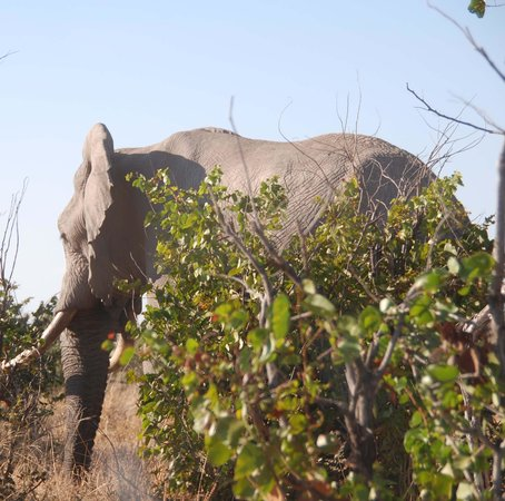 Camp Savuti : one of the 3 elephants we saw on our way out