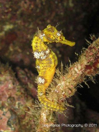 Ocotal Diving: Sea horse