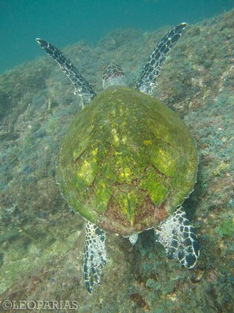 Ocotal Diving: Olive Ridley Turtle