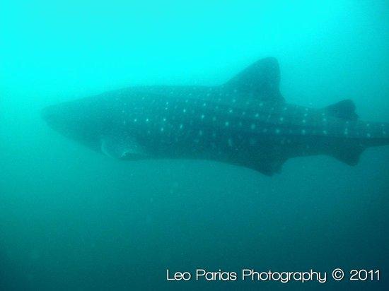 Ocotal Diving: Whale shark