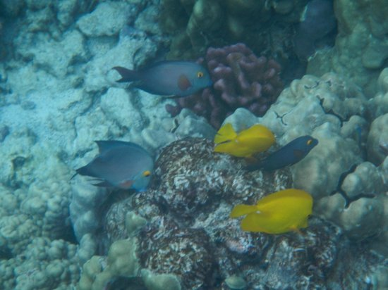 Plenty of tangs picture of honaunau bay honaunau for Plenty of fish hawaii