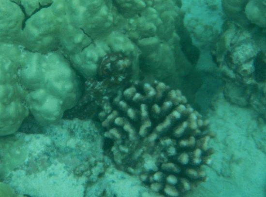 Honaunau Bay: Octopus