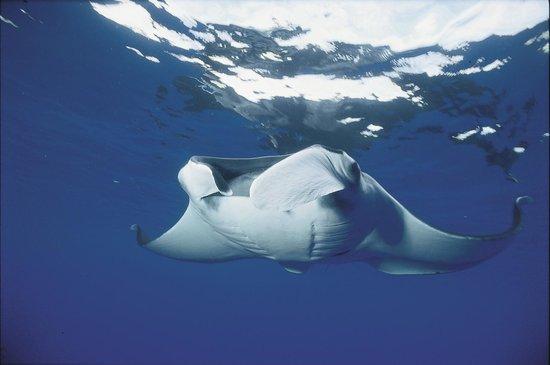 Ocotal Diving: Manta Ray