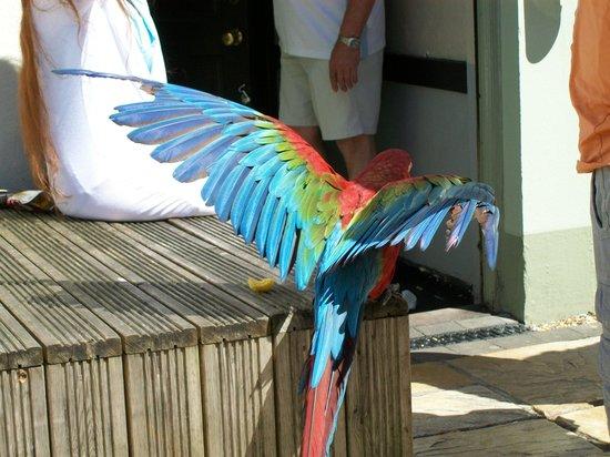 The Kents: Parrot_1