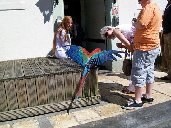 The Kents: Parrot_2