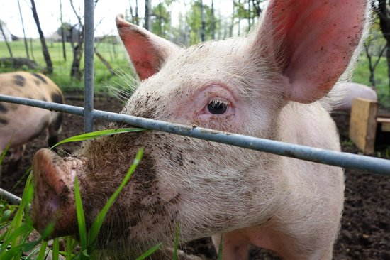 Windy Hill Bed & Breakfast : Piggies