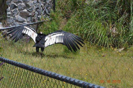 Condor Park: Andean condor