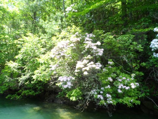 Jocassee Lake Tours: Mountain Laurel in bloom