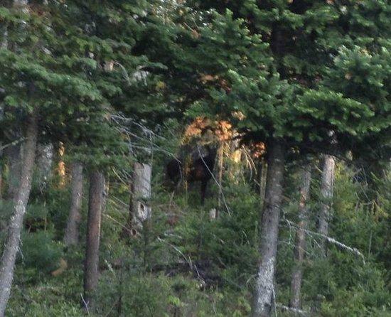 Gorham Moose Tours : Moose on Gorham Moose tour