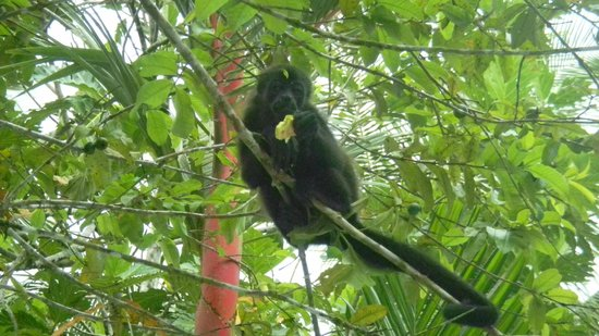 Pachira Lodge: Monkey right above the pool area....sweet!