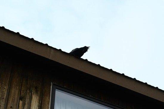 Al's Westward Ho Motel : Raven perched on roof of hotel