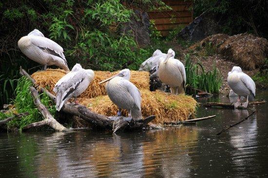 Tierwelt Herberstein: Pelikane