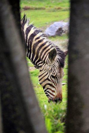 Tierwelt Herberstein : Das Zebra