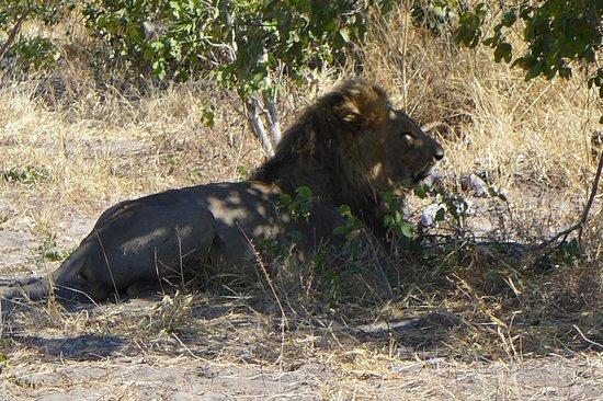Ghoha Hills Savuti: Lions