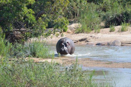 Inyati Game Lodge, Sabi Sand Reserve: Splashing Hippo