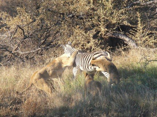 Timbavati Safari Lodge: Extremely rare photo and I took it!