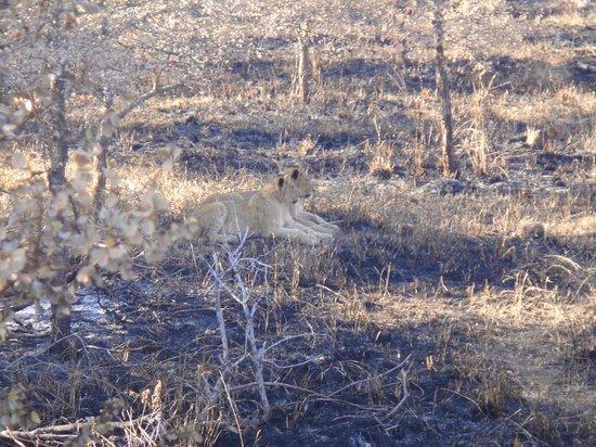 Timbavati Safari Lodge: The cubs