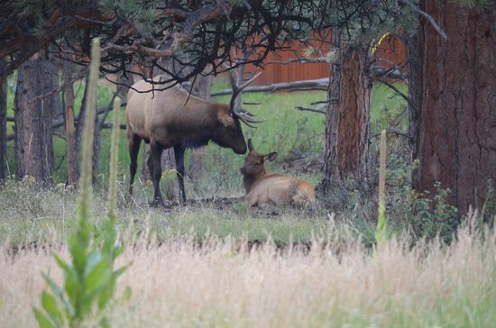 Saddle & Surrey Motel: Elk at the back of the motel