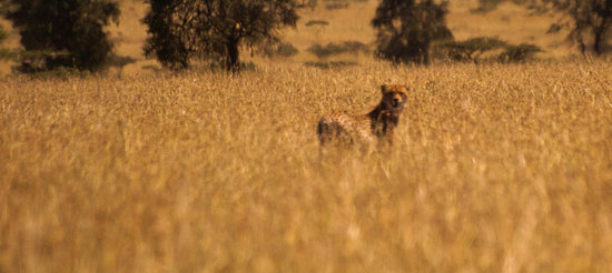 Swara Plains Acacia Camp: One of two cheetah luckily seen!