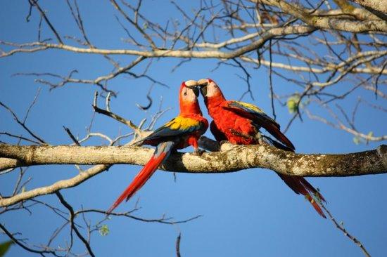 Agua Dulce Beach Resort: scarlet macaws