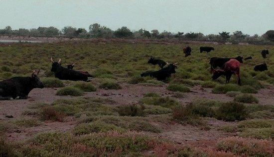 Cabanes de Cacharel : Les taureaux !