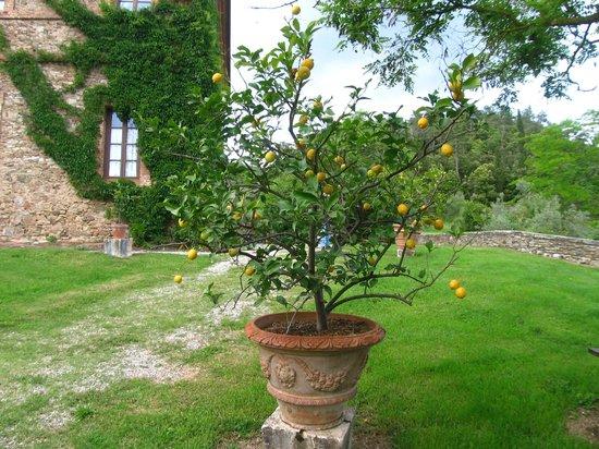 Un vaso di limoni nel giardino picture of villa for Limoni in vaso