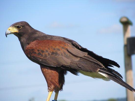 Yarak Bird of Prey: Harris Hawk Ready to Fly