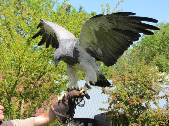 Yarak Bird of Prey: Meyer Stretching her Wings