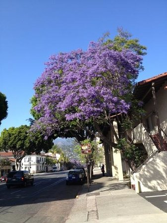 Spanish Garden Inn : Purple trees forever