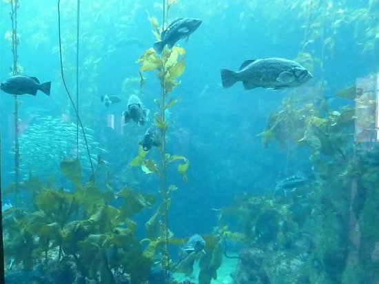 Giant Kelp Foto Di Monterey Bay Aquarium Monterey
