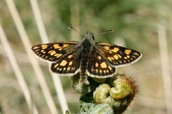 Inverskilavulin : A Chequered Skipper, one of GBs rarest butterflies and only found within 30 miles of Fort Willia
