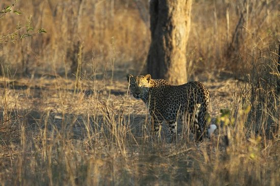 Sanctuary Chobe Chilwero: If you lucky, you may get a glimpse of the elusive leopard!