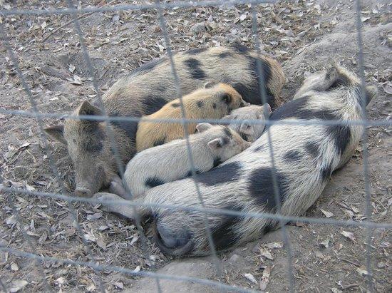 Vecchia Masseria : even cuter piglets