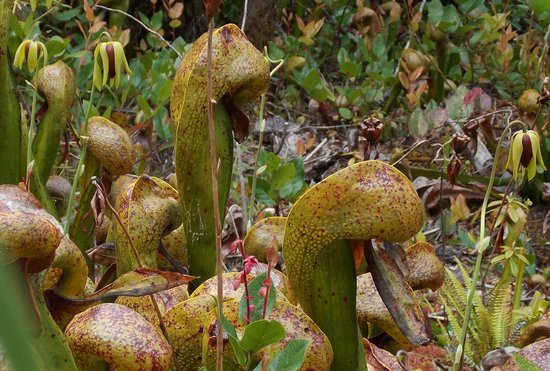 Darlingtonia State Natural Site: Closeup of the plants and the unusual head