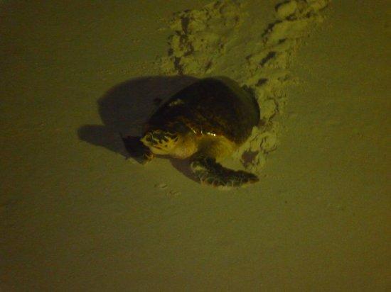 Ocean Two Resort & Residences: turtle on beach
