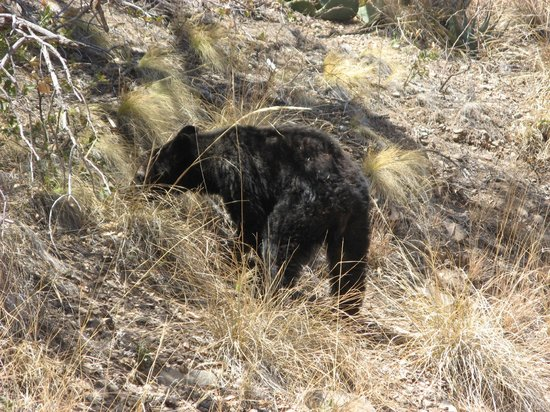 Lost Mine Trail: Black Bear